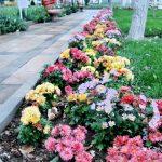 جشنواره گل های داوودی تبریز در فصل هنرمندان / گالری تصاویر
